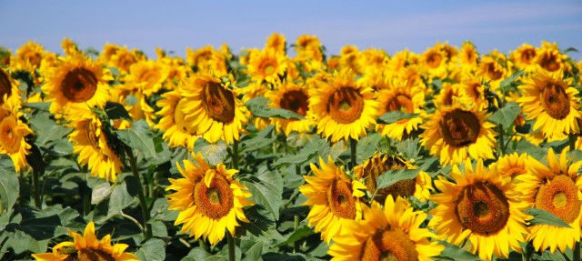 sunflowers_640x287